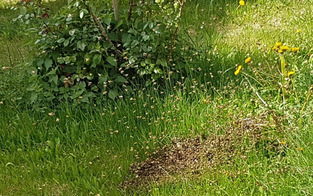 Bienenschwarm mitten in Germering
