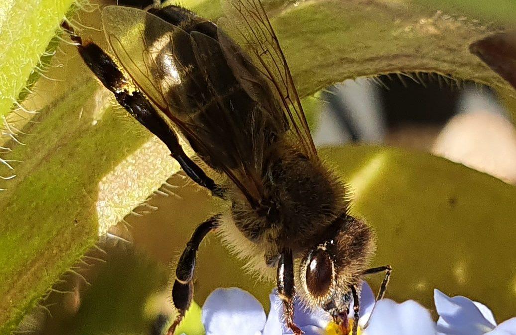 Trainierte Bienen erkennen Coronaviren