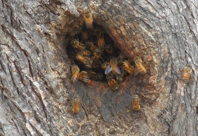 Die Honigbiene ist ein Waldtier