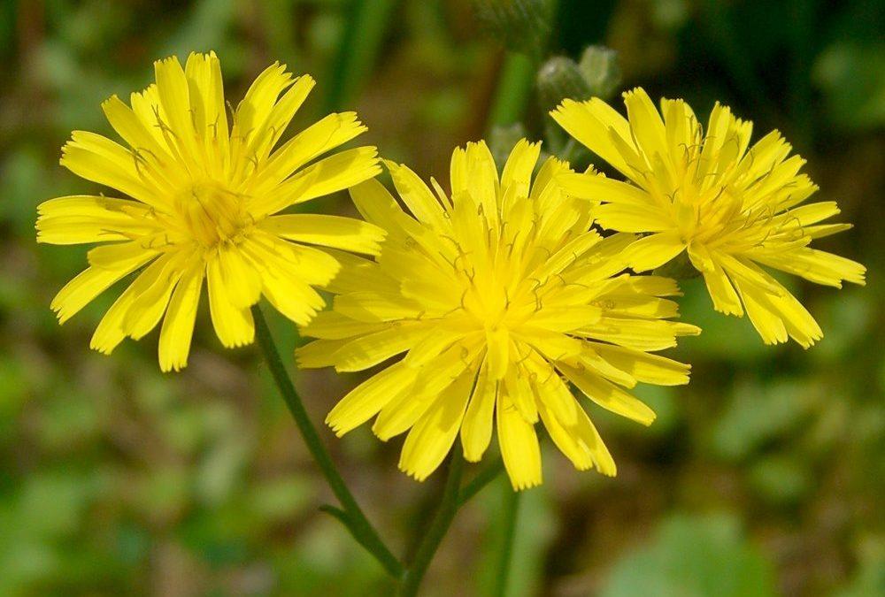 Blüten reagieren auf Bestäubung