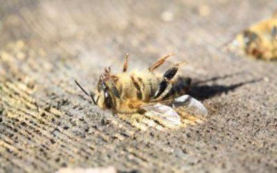 Nicht die Honigbienen, die Wildbienen sterben aus.
